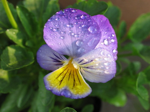 Pansy1_1