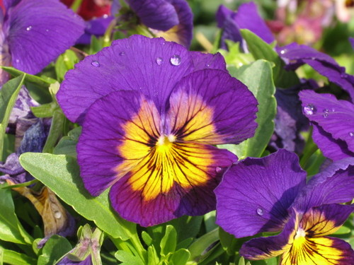 Pansy1_32