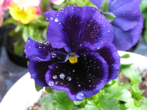 Pansy1_34