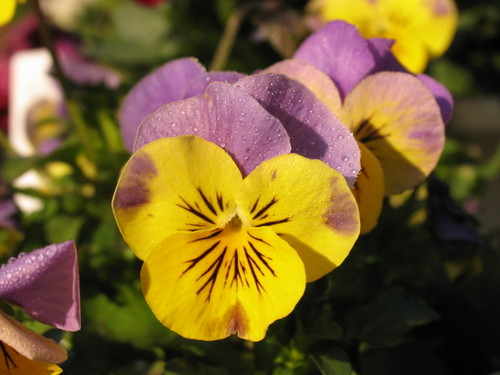 Pansy1_36