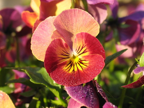 Pansy1_37