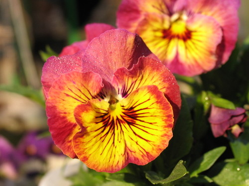 Pansy1_39