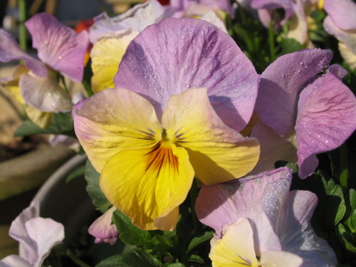 Pansy1_44