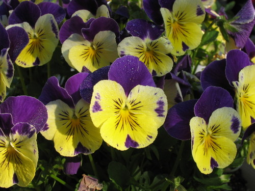 Pansy1_48