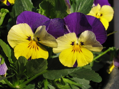 Pansy1_49