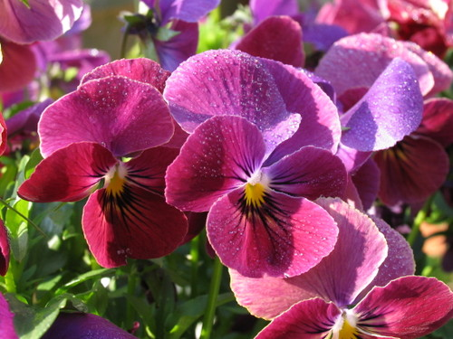 Pansy1_51