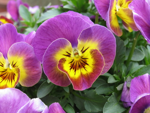 Pansy1_52