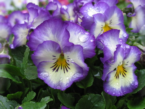 Pansy1_55