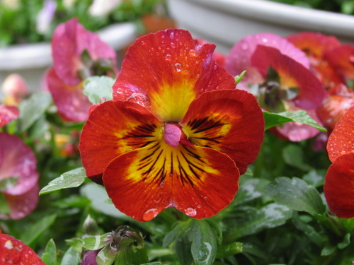 Pansy1_56