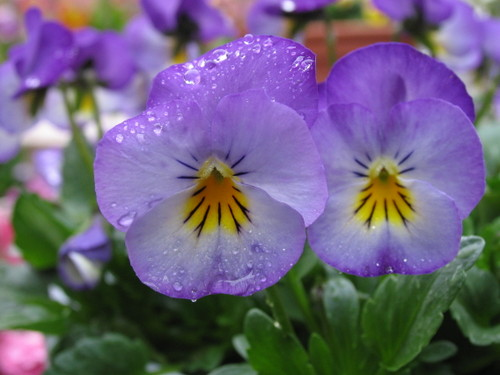 Pansy1_58