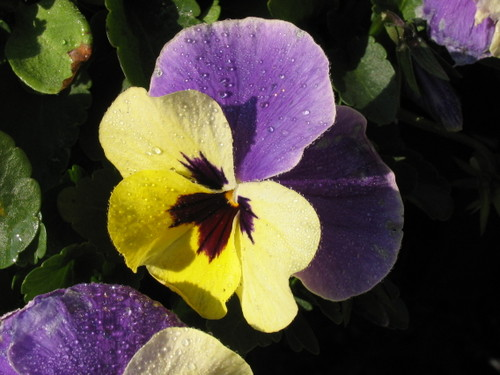 Pansy1_59
